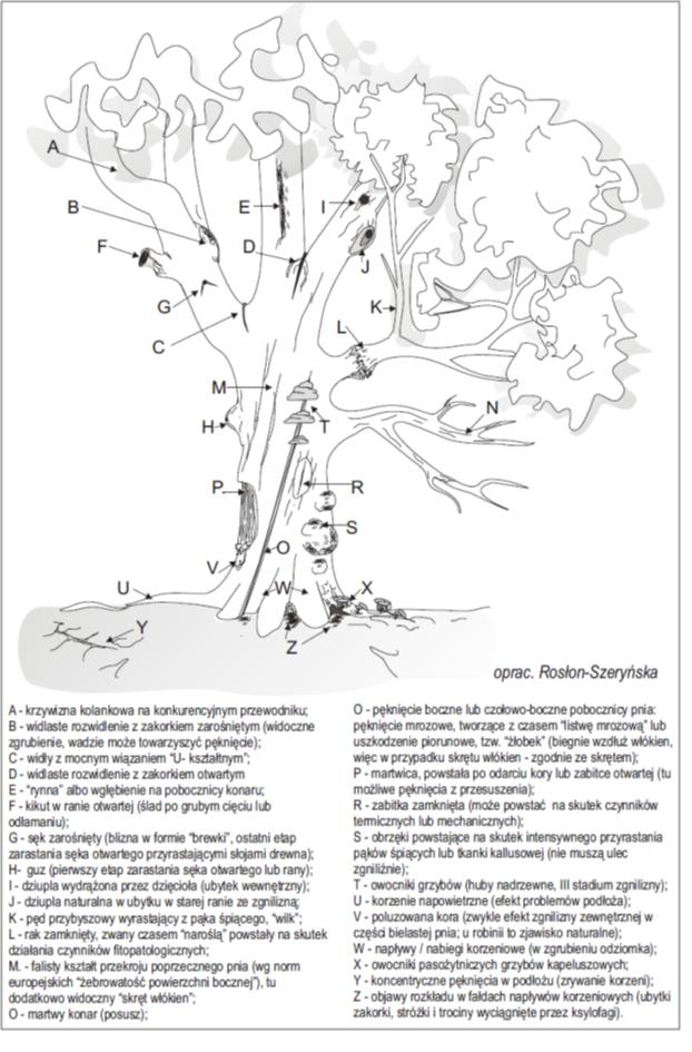 Wykaz ważniejszych wad budowy i kształtu drzew stosowanych w ocenie statyki