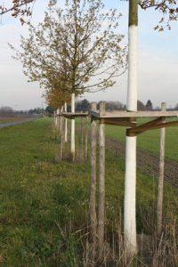 Bielenie pni młodych drzew